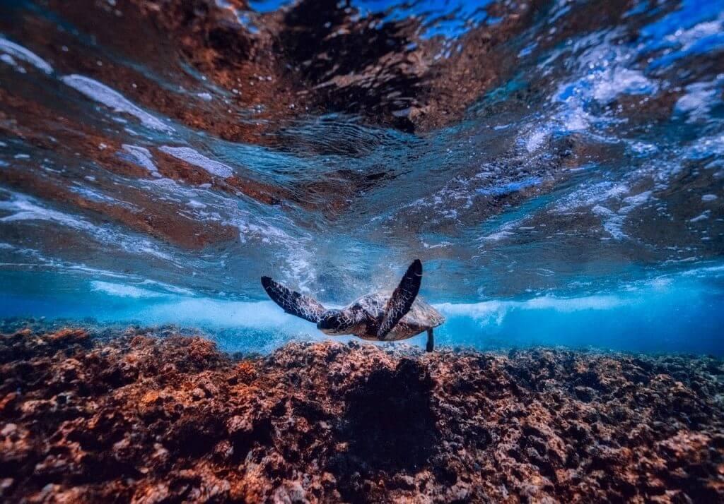 ハワイの海のサンゴ礁も多くが絶滅の危機に